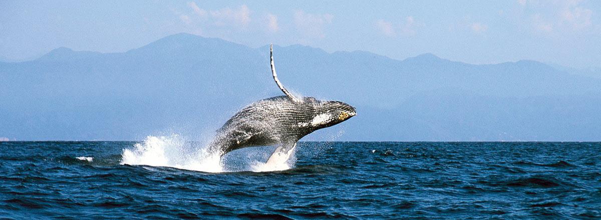 Observación de ballenas Jorobadas